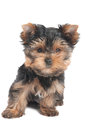 Amazing puppy of the yorkshire terrier isolated on white Royalty Free Stock Image