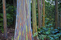 Amazing rainbow eucalyptus Royalty Free Stock Photo