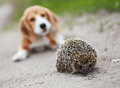 Amazing stranger cute beagle puppy amazed with little hedgehog Royalty Free Stock Image