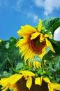 Amazing sunflower Royalty Free Stock Photo