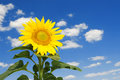 Amazing sunflower and blue sky Stock Images