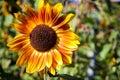 Amazing sunflower in garden Royalty Free Stock Photo