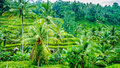 Amazing Tegalalang Rice Terrace Fields and some Palm Trees Around, Ubud, Bali, Indonesia Royalty Free Stock Photo