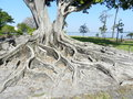 Amazing tree this trees root system is taken in fort meyers florida Royalty Free Stock Photo