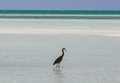 Amazing view of lonely bird walking in the ocean at Cayo Coco island, Cuba, on sunny day
