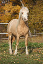 Amazing welsh mountain pony stallion in autumn Royalty Free Stock Photo