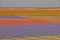 Amazing wide fields of tulips beyond a town colourful nearby keukenhof garden europe Stock Photo