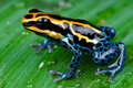 Amazon dart frog Royalty Free Stock Photo