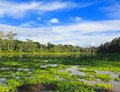 Amazon jungle panoramic view taken in the Royalty Free Stock Photo