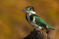 Amazon Kingfisher, Chloroceryle amazona, Green and white bird sitting on the branch, bird in the nature habitat, Baranco Alto, Pan Royalty Free Stock Photo