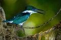 Amazon Kingfisher, Chloroceryle amazona. Green and white kingfisher bird sitting on the branch. Kingfisher in the nature habitat i Royalty Free Stock Photo