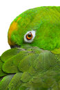 Amazon parrot photo of a on white background Stock Photography