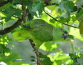 Amazon parrot in tree yellow mantled sitting a among green leaves Stock Photo