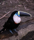 Amazon toucan bird sits on tree log Royalty Free Stock Photo