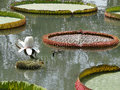 Amazon water lily or in ancient city samutprakan thailand Stock Photos