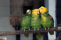 Amazona ochrocephala is a species of parrot native to the tropical south america and panama Stock Photography