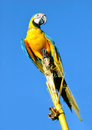 Amazonian blue and yellow macaw ara ararauna in front of a sky Royalty Free Stock Photography