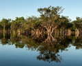 Amazonian forest mirroring flooded trees by the tupana river in amazonia mirrored in water Stock Photos
