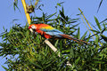 Amazonian macaw ara ararauna in front of a blue sky Stock Photography