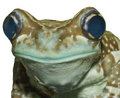 Amazonian milk frog Royalty Free Stock Image
