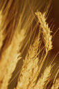 Amber waves of grain Royalty Free Stock Photo