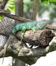 An Ambilobe Panther Chameleon
