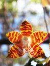 Amboin海岛兰花植物 免版税图库摄影