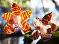 Amboin海岛兰花植物 图库摄影