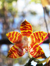 Amboin island phalaenopsis close up Royalty Free Stock Photography