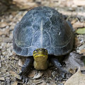 The Amboina Box Turtle Royalty Free Stock Photo