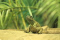 Amboina sail finned lizard on the sand Royalty Free Stock Image