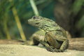 Amboina sailfin lizard the adult in the soil Royalty Free Stock Photography
