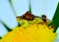 Ambush bug an perched on a flower petal Royalty Free Stock Photo