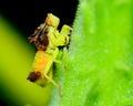 Ambush Bug Royalty Free Stock Photo