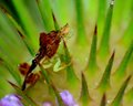 Ambush bug an perched on a thistle top Royalty Free Stock Photography
