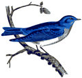 America Mountain Bluebird. Stock Photos