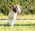 American akita a front view of a sable white and brown pinto dog running on the grass distinctive for its plush tail that curls Stock Images