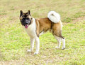 American akita a profile view of a sable white and brown pinto dog standing on the grass distinctive for its plush tail that curls Stock Photos