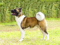 American akita a profile view of a sable white and brown pinto dog standing on the grass distinctive for its plush tail that curls Royalty Free Stock Photo
