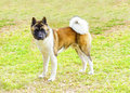 American akita a profile view of a sable white and brown pinto dog standing on the grass distinctive for its plush tail that curls Royalty Free Stock Photos