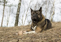 American akita for a walk in the woods Royalty Free Stock Image