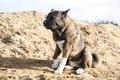 American akita for a walk in the woods Stock Image