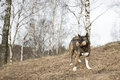 American akita for a walk in the woods Stock Photography