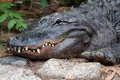 American Alligator Stock Photography
