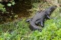 American alligator Alligator mississippiensis Royalty Free Stock Photo