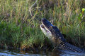 American alligator alligator mississippiensis with his mouth open showing teeth immediately after swallowing a bird he caught in a Stock Images