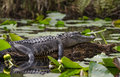 American Alligator basking on log, Okefenokee Swamp National Wildlife Refuge