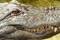 American Alligator Close Up Detail