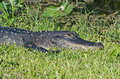 American alligator laying in the grass at shark valley in the florida everglades Royalty Free Stock Photos
