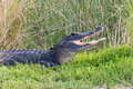 American alligator showing its teeth large with mouth open while basking in the sun on the shore of a florida waterway Stock Images